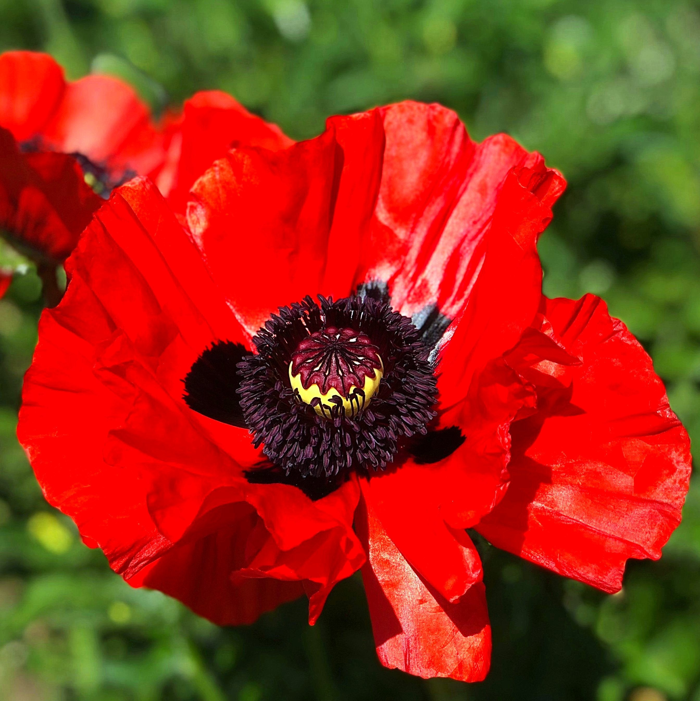 Oriental_Poppy_Beauty_of_Livermore.SHUT Red Poppy Houseplants on flowers red, berries red, pots red, mums red, nature red, design red, animals red, ornamental grasses red, cactus red, peppers red, orchids red,