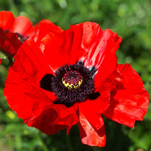 Red Poppy Beauty Of Livermore