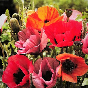 Fruit Punch Poppy Flowers