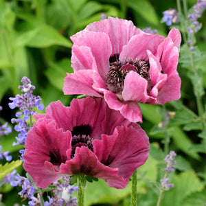 products/Oriental_Poppy_Little_Pattys_Plum.SHUT.jpg