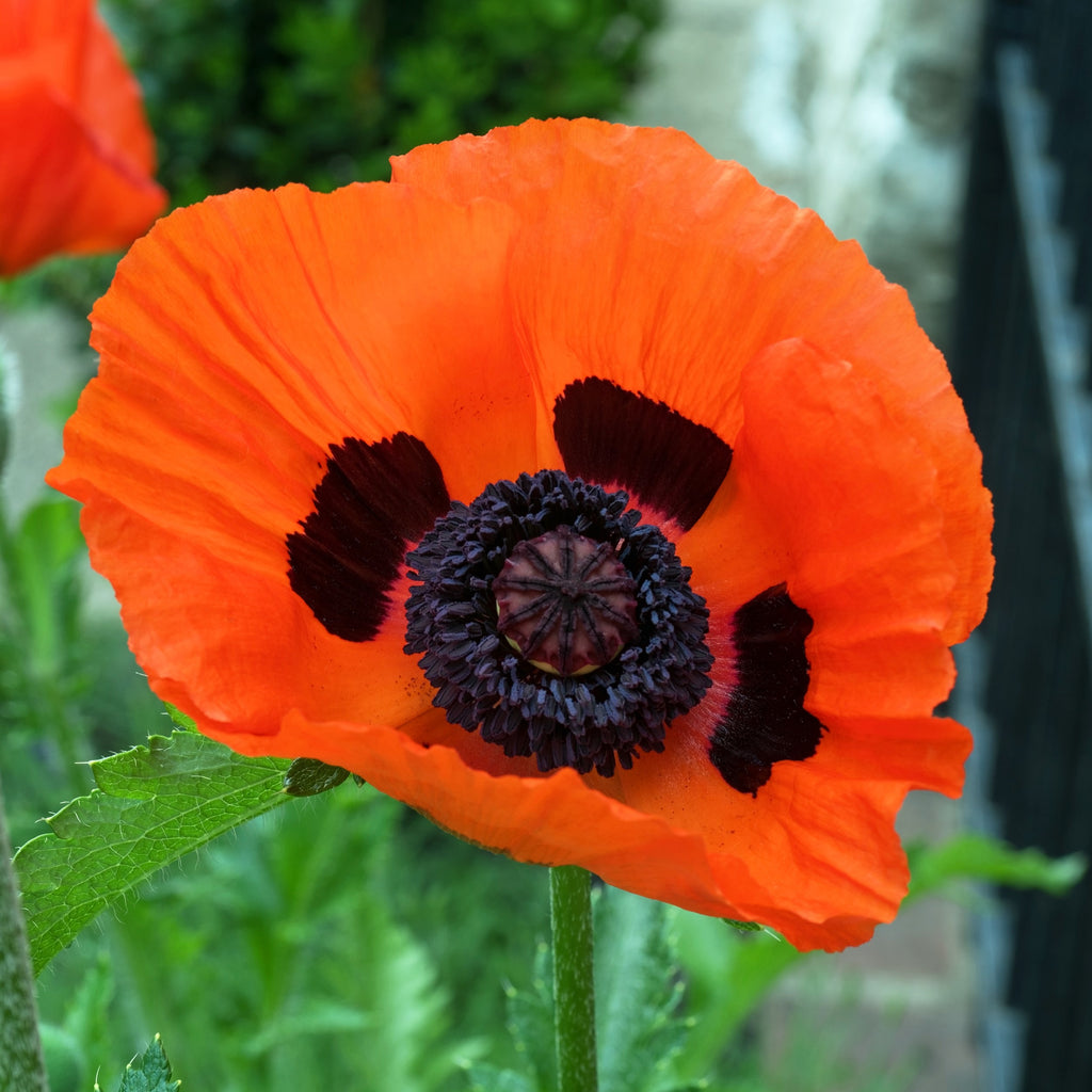 Oriental Poppy Prince Of Orange
