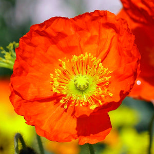 Spring Fever Orange Poppy