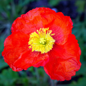 Spring Fever Red Poppy