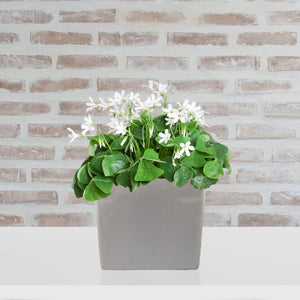 Oxalis Regnelli in a Ceramic Square