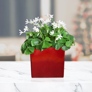 Oxalis Regnellii in a Ceramic Square - FREE Shipping!