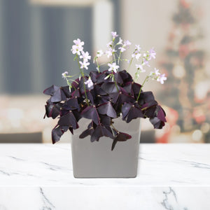 oxalis triangularis in silver square