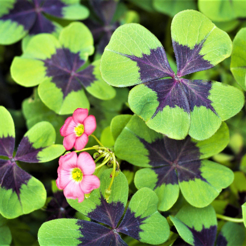 Oxalis Double Luck Collection