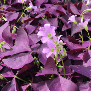 Large Group of Oxalis Mijke