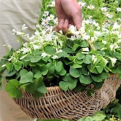 A Basket Full of Lucky Shamrock