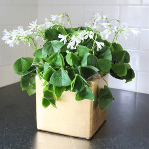 Oxalis Pot o' Gold (Lucky Shamrocks) - FREE Shipping!