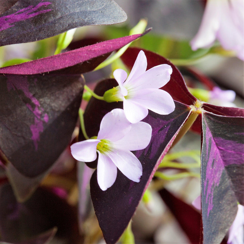 Extreme Close Up White Flower on Oxalis Triangularis