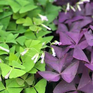 Oxalis Triangularis and Regnelli Collection