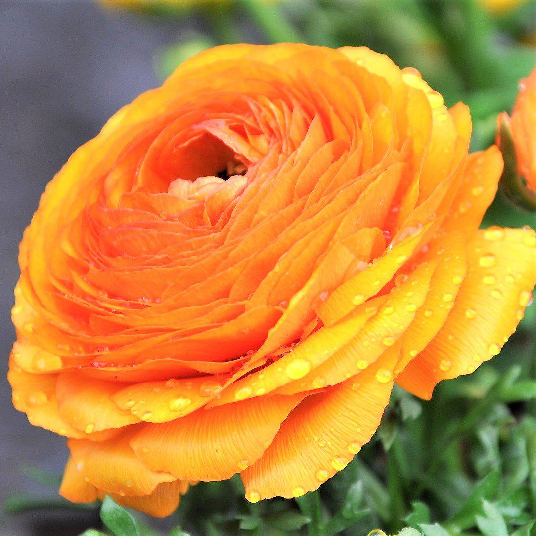 Gold Ranunculus Bulbs Easy To Grow Bulbs