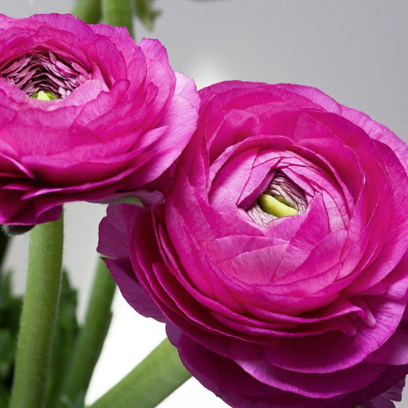 Two Purple Ranunculus Flowers