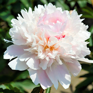 White & Pink Peony Bulbs For Sale Online | Alertie