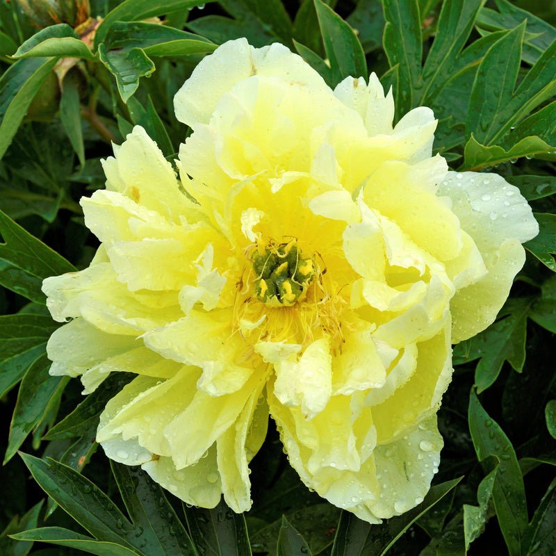Flower of Bright Yellow Itoh Peony Bartzella
