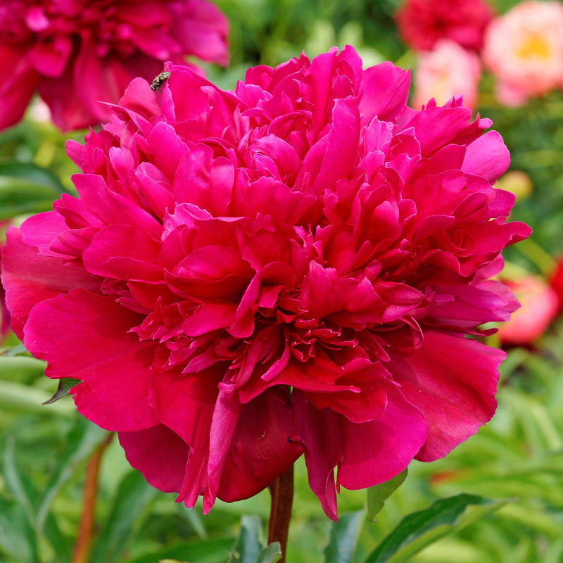 Deep Fuchsia Peony Bulbs For Sale | Big Ben