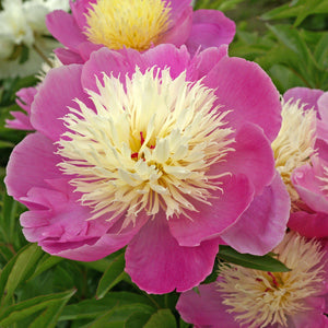 products/Paeonia_Bowl_of_Beauty.DV_1.jpg