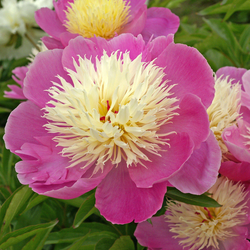 Hot Pink Peony Bulbs For Sale | Bowl of Beauty (Fragrant)