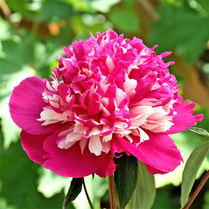 Deep Pink Peony Bulbs For Sale Online | Celebrity (Fragrant)
