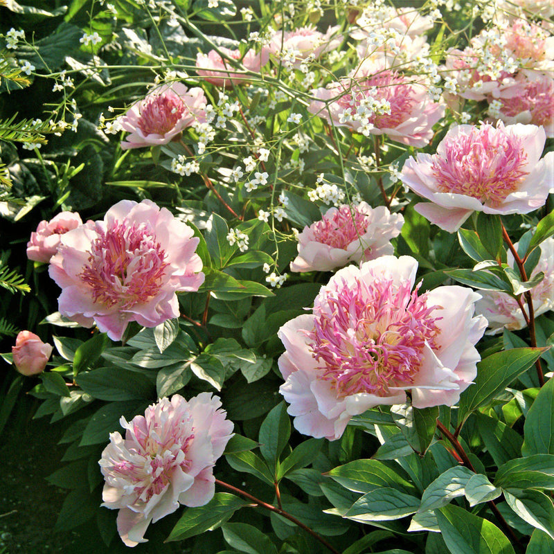 Group of Pink Peony Do Tell