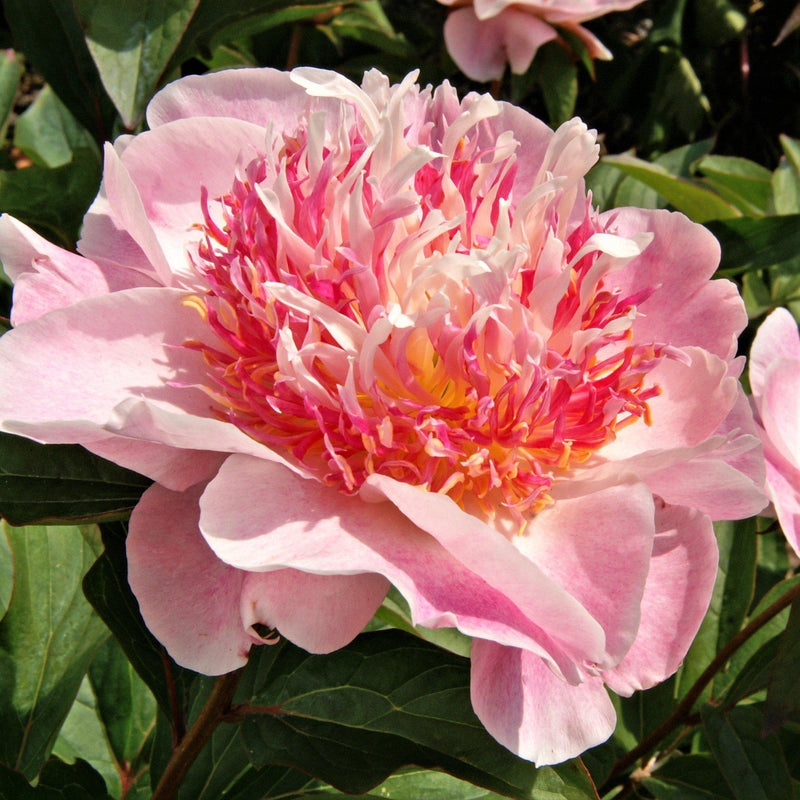 Blushing Light Pink Peony Bulbs For Sale | Do Tell (Fragrant)