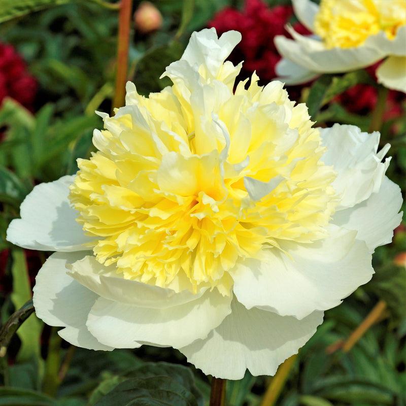 White & Yellow Peony Bulbs For Sale | Honey Gold (Fragrant)