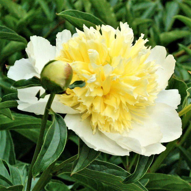 Flowers of White & Yellow Peony Honey Gold (Fragrant)