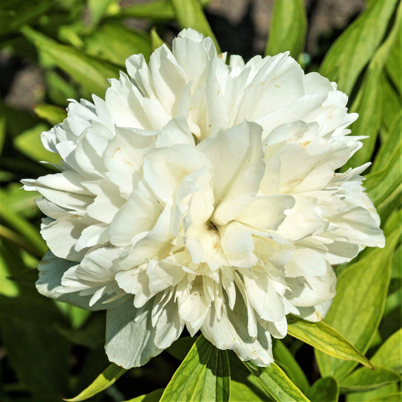 bloom of White Peony Alba Plena (Fragrant)