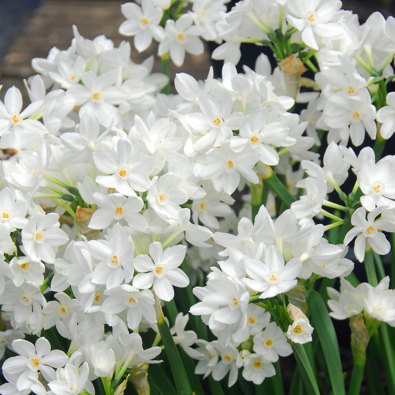 paper white bulbs for sale Shop paperwhites, narcissus and all your favorite flower bulbs at wholesale price, right here at k van bourgondien also in our collection, a most wonderful range in landscaping plants and gardening tools, all at discounted prices.