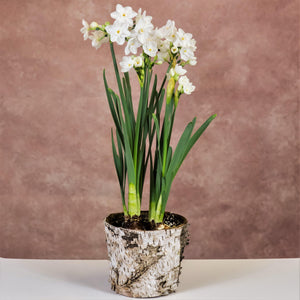 Paperwhites in a Birch Bark Pot