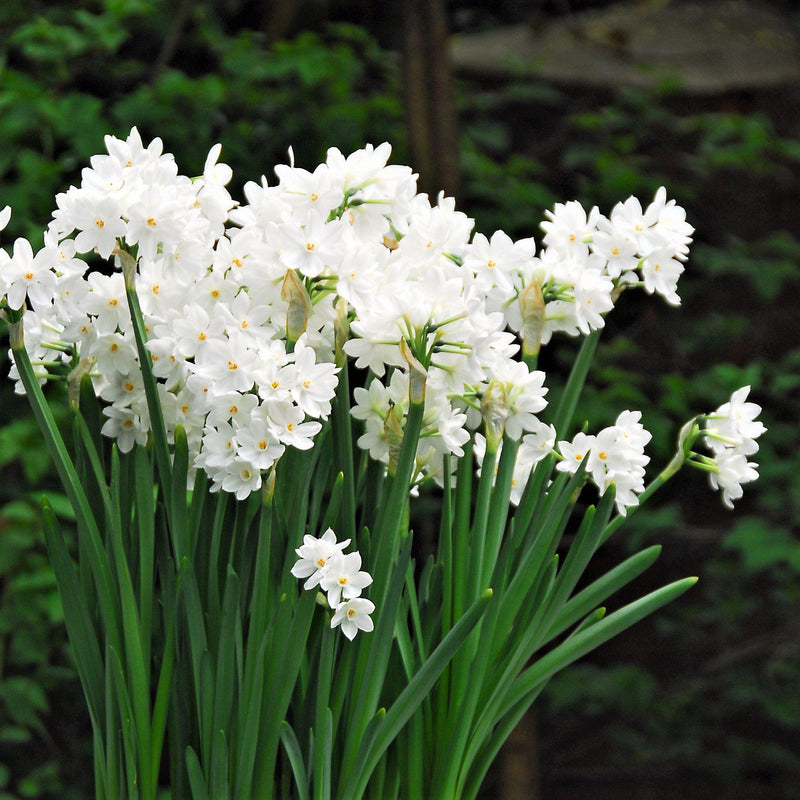 Paperwhites growing in the garden