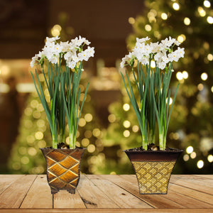 Paperwhite Gift in a Decorative Tin Planter - Free Shipping