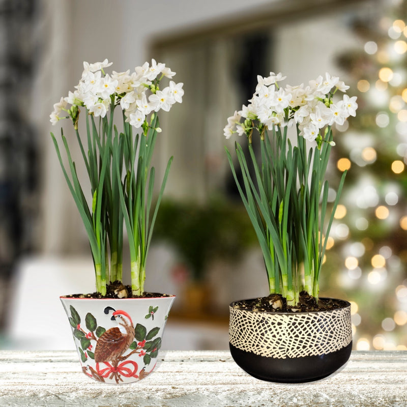 Paperwhite Gift in a Round Ceramic Planter - Free Shipping