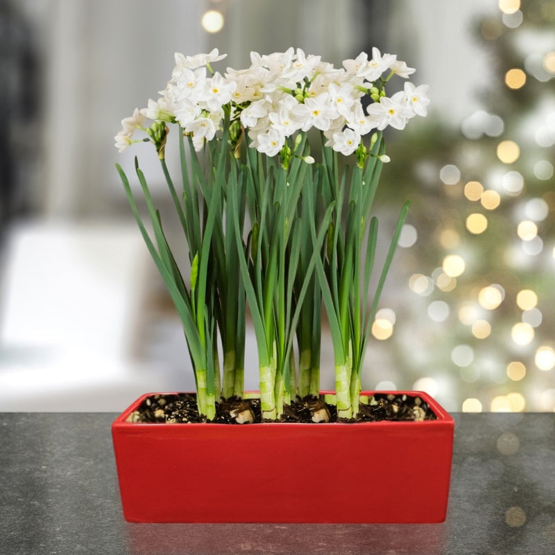 Paperwhite Gift in a Ceramic Sill Planter - Free Shipping