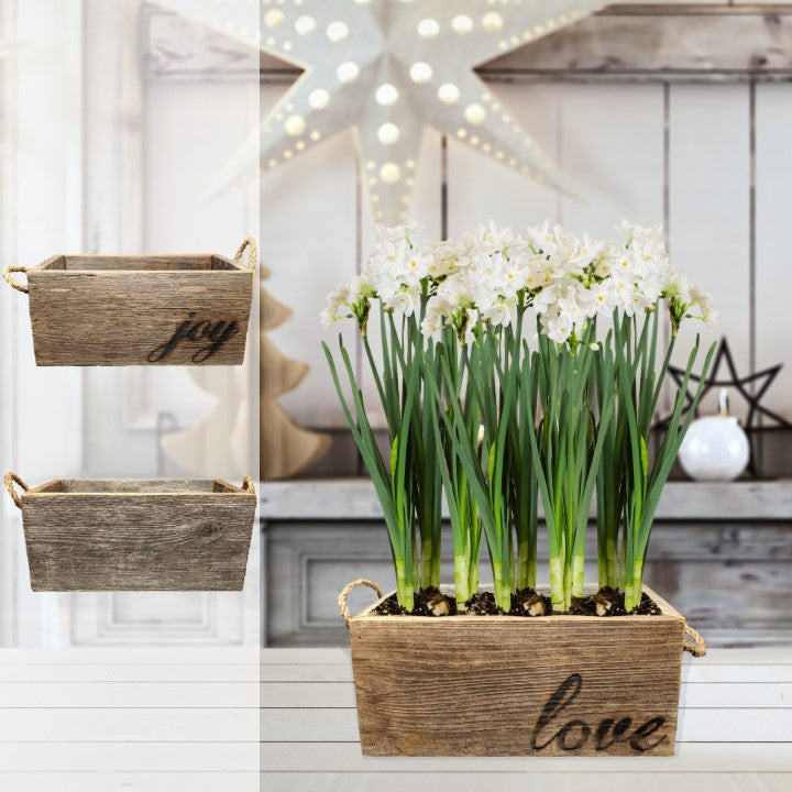 Paperwhite Gift in a Reclaimed Wood Planter - Free Shipping