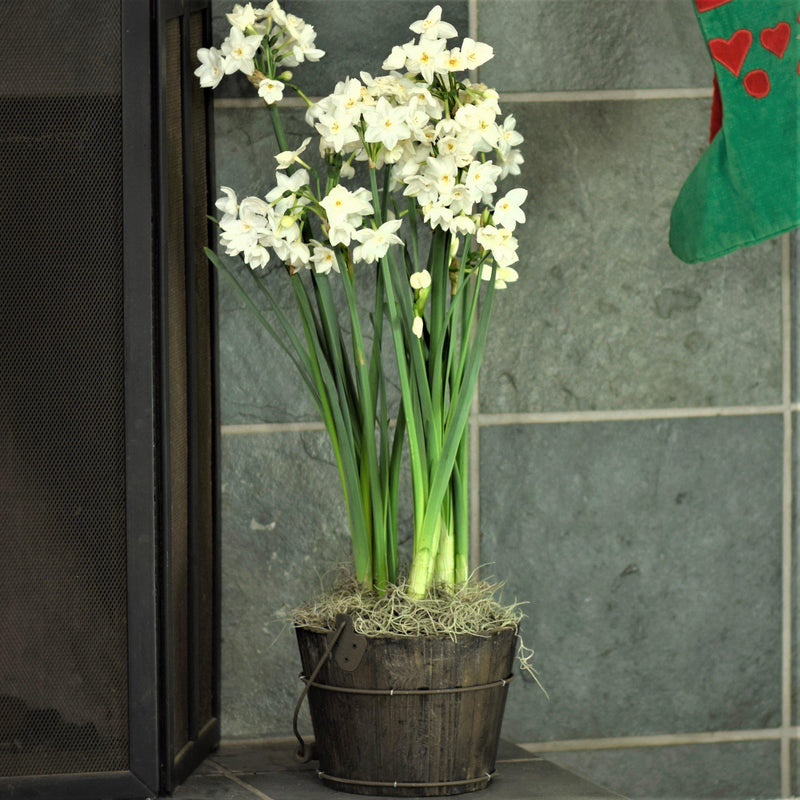 Paperwhites in an Orchard Bucket w/ Handle - FREE Shipping!