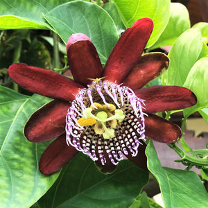 Maroon passionflower
