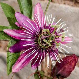 Passion Flower Passiflora Victoria (Edible Fruit)
