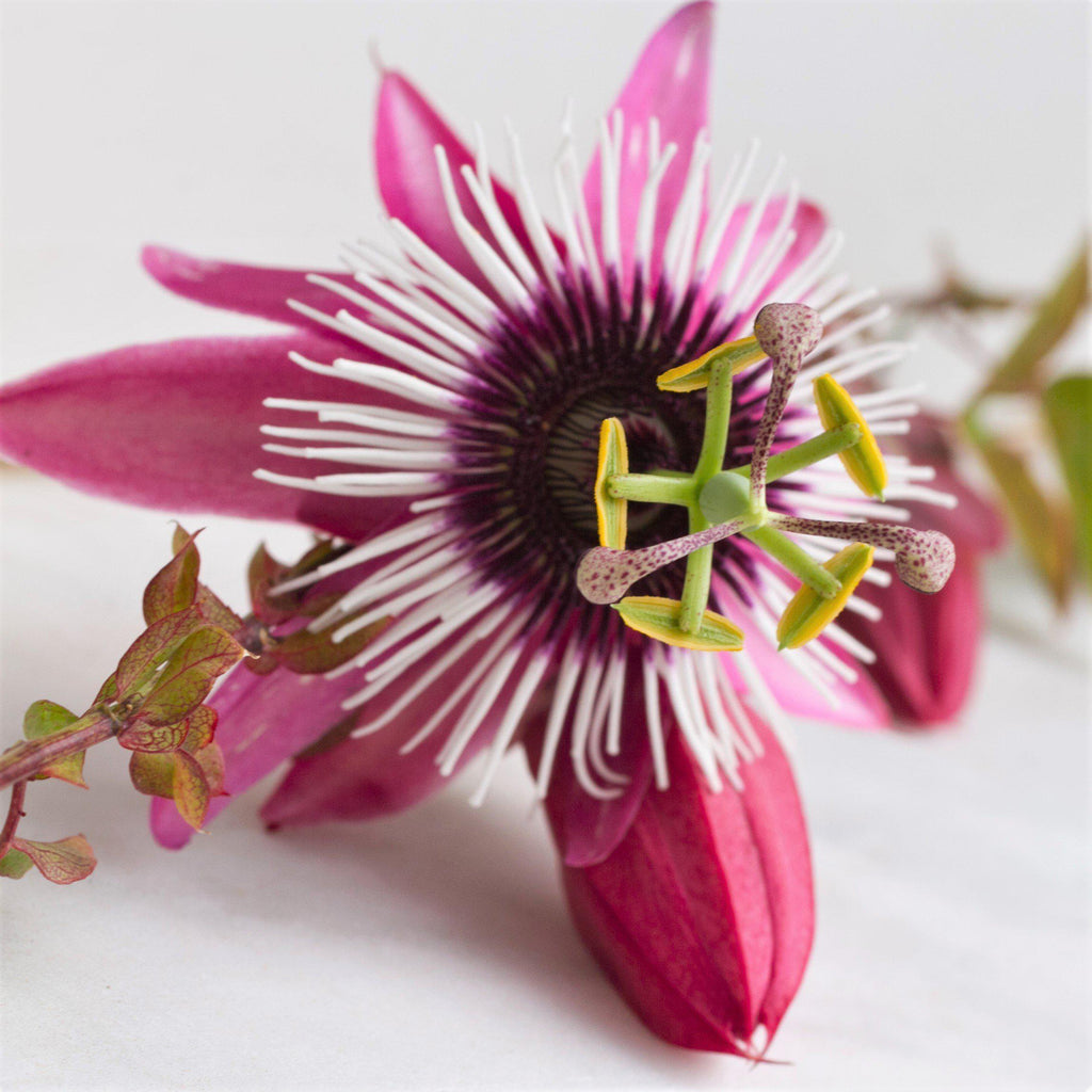 Passion Flower Passiflora Victoria (Edible Fruit!)
