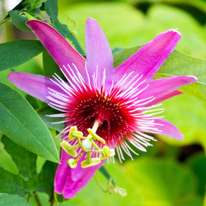 Hot Pink Passionflower | Passiflora Anastasia