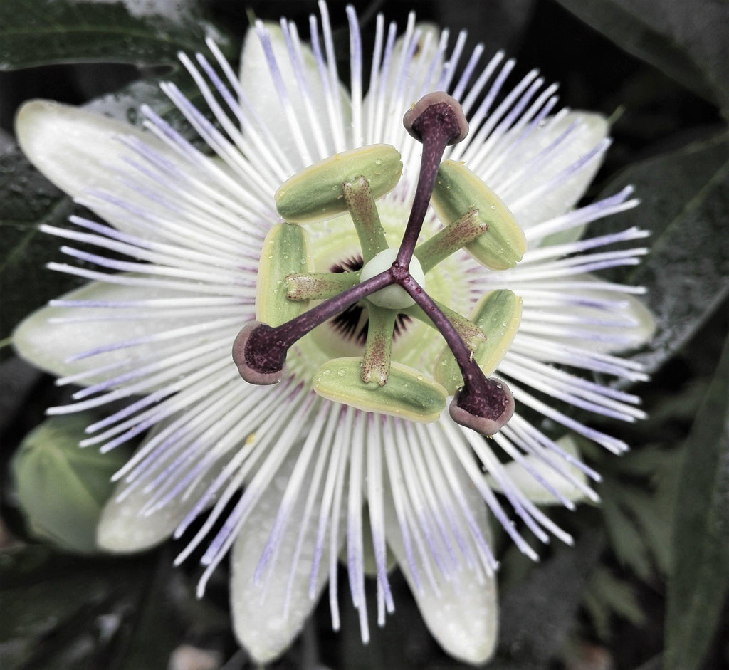 Passion Flower Passiflora Constance Elliot (Fragrant!)