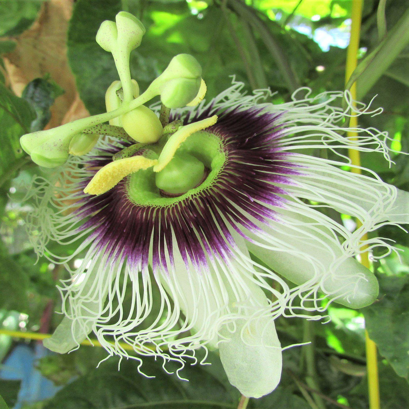 Passion Flower Possum Purple Passiflora Edulis Possum Purple