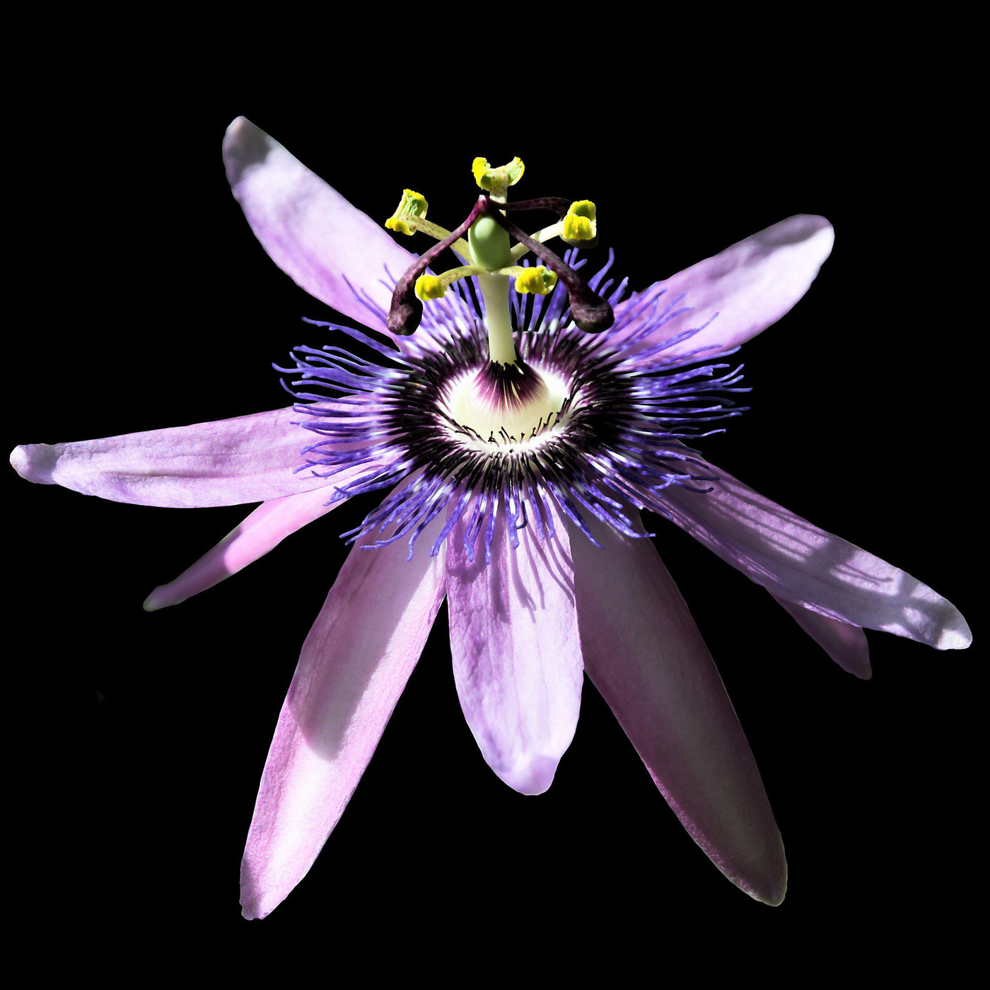 Grow passion flower betty myles young purple passiflorabbetty myles passion flower passiflora betty myles young fragrant mightylinksfo