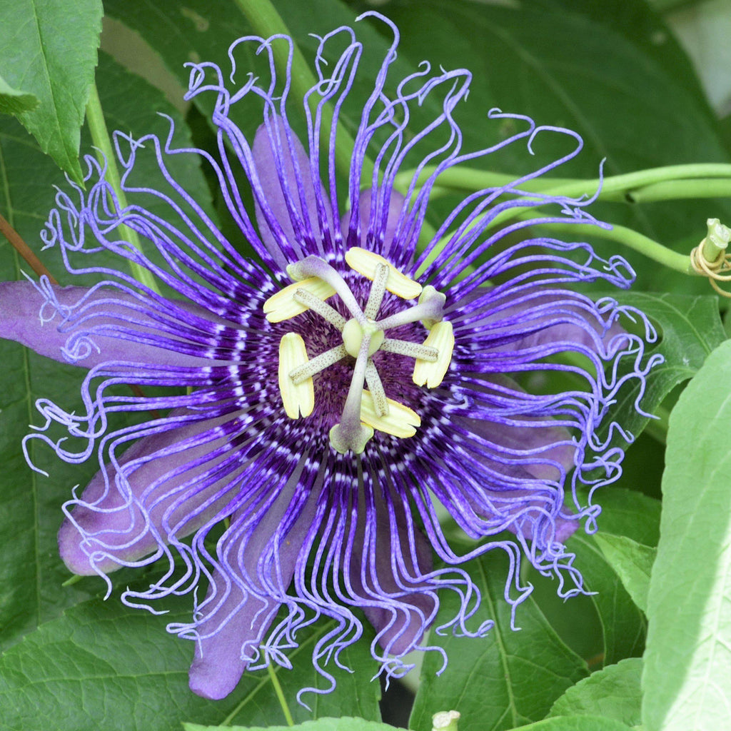 Passion Flower Passiflora Incense (Fragrant!)