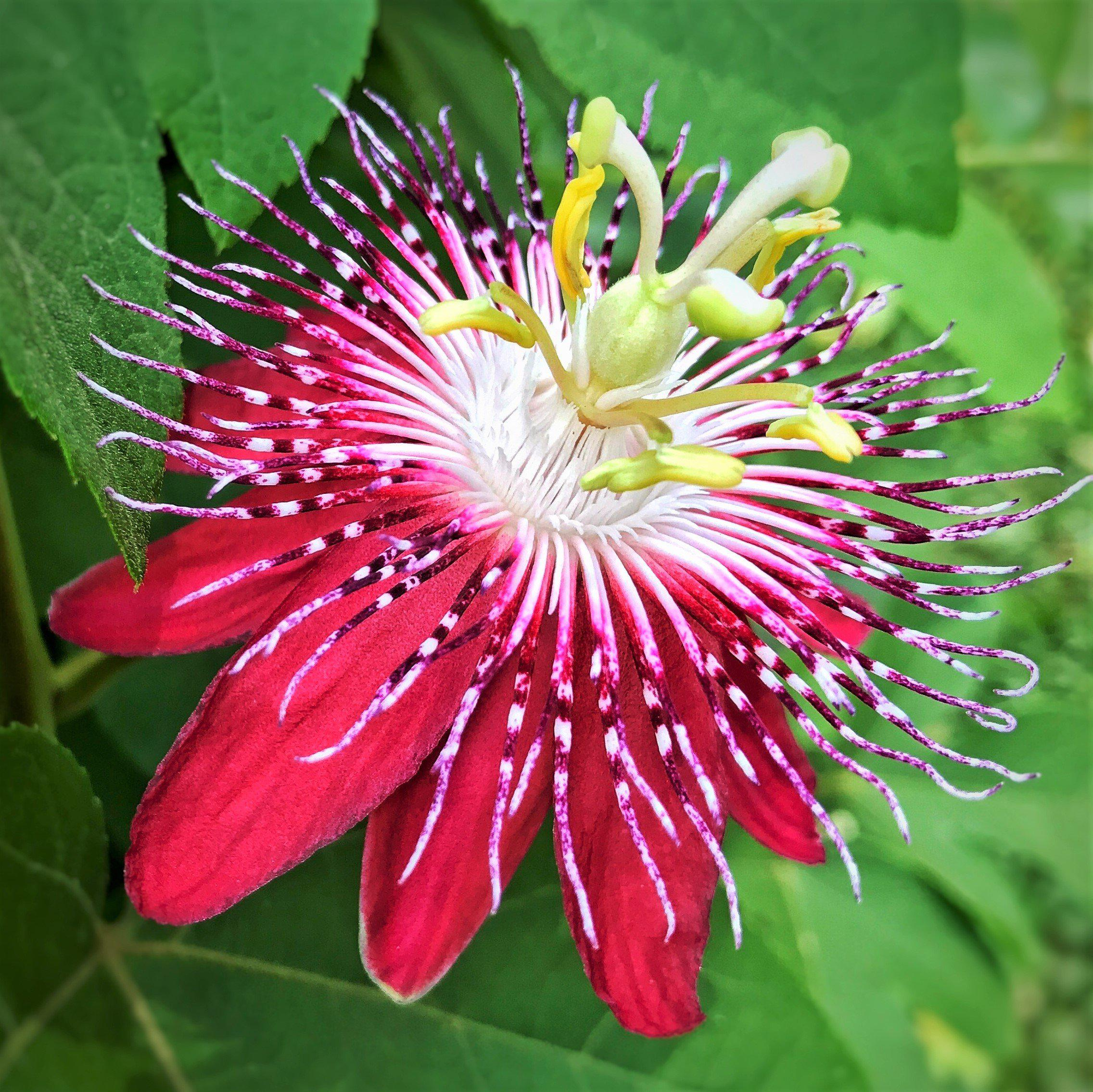 Red White Passion Flower Plant For Sale Pura Vida Red Easy