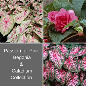 Passion For Pink - Begonia & Caladium Collection