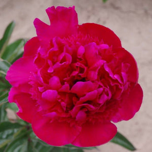 products/PeonyAlbertNiva1_OREGON.jpg