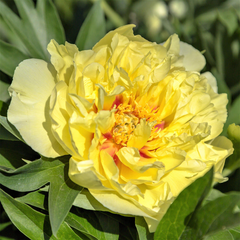 Flower of Bright Yellow Itoh Peony Bartzella with orange accents