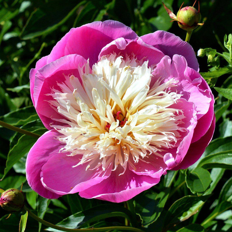 Hot Pink Peony Flower Bulbs For Sale